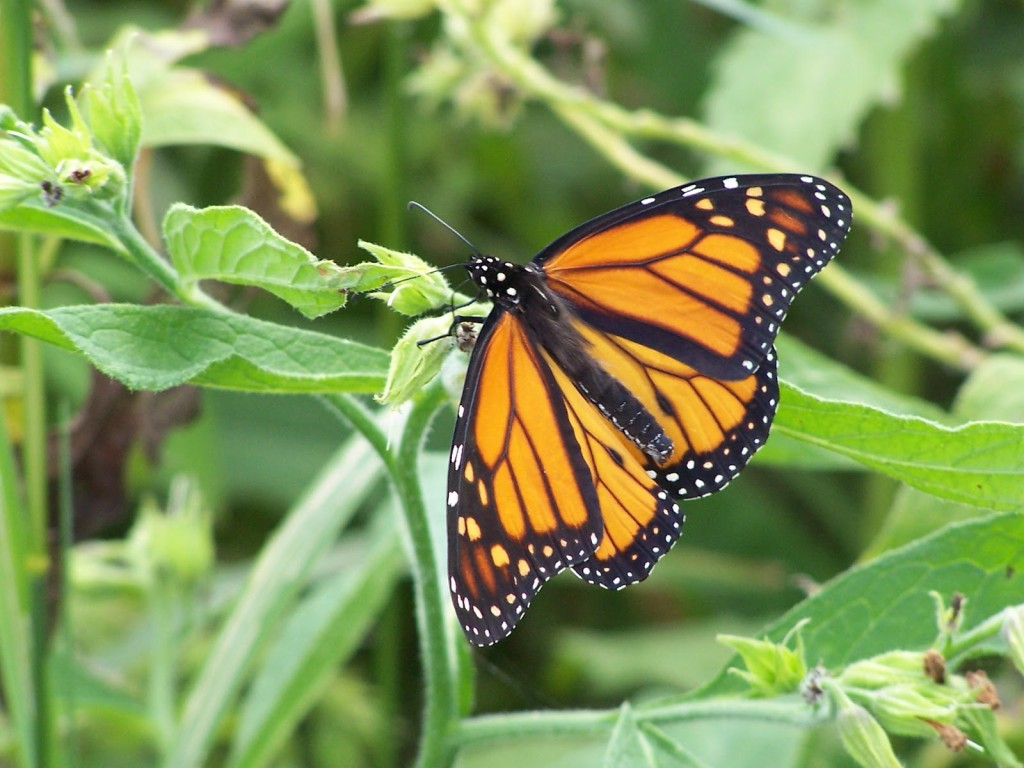 A monarch butterfly with spread wings feeds on the green flowers of a plant