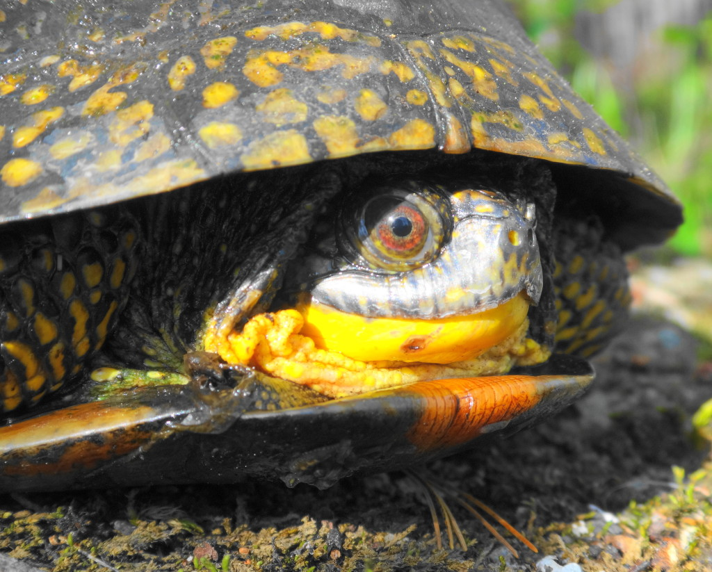 A close-up photograph of the head of a Blanding's turtle basking in the Carp Hills