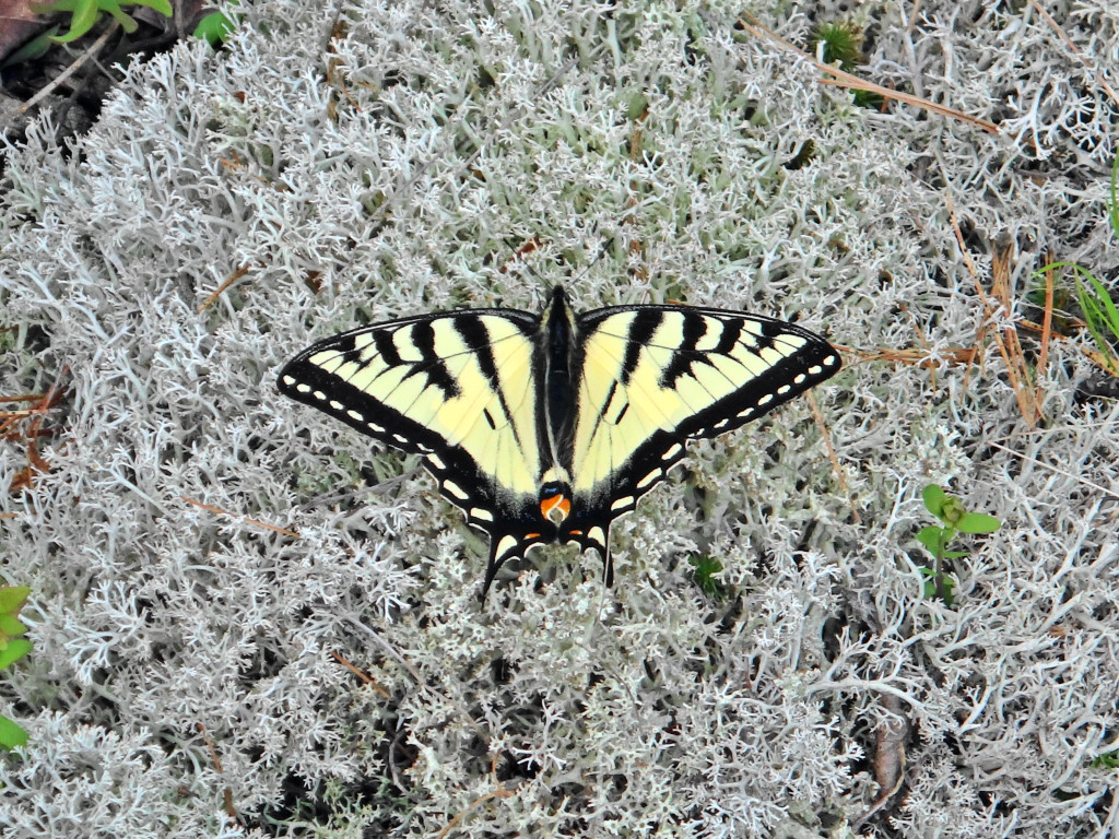A black and yellow swallowtail butterfly rests on grey lichen in the Carp Hills