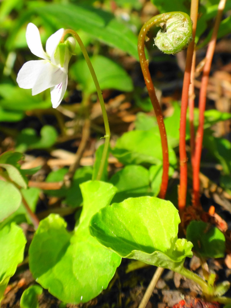 Kidney-leaved Violet