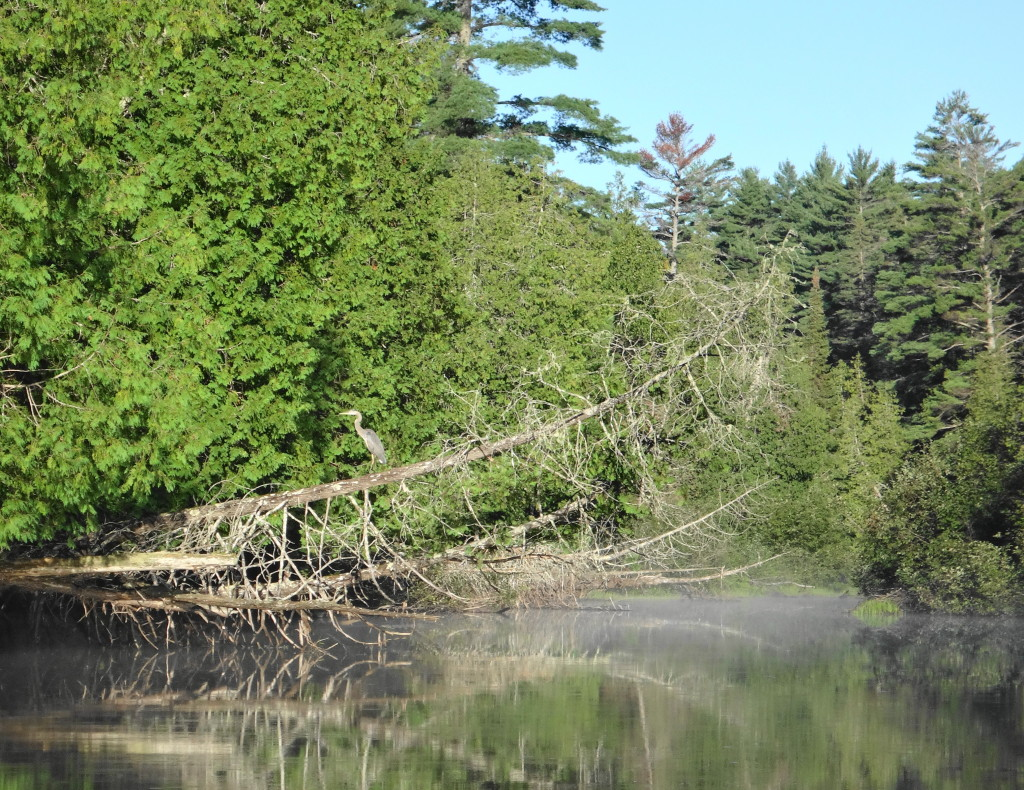 A great blue heron perches on a dead cedar leaning far out over a calm stream.