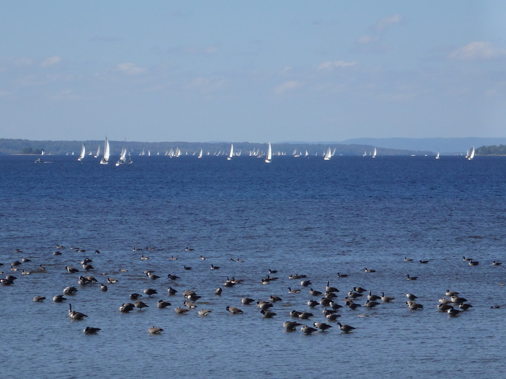 On a breezy day, a regatta of sail boats tacks in the background, while a raft of Canada geese float in the foreground.