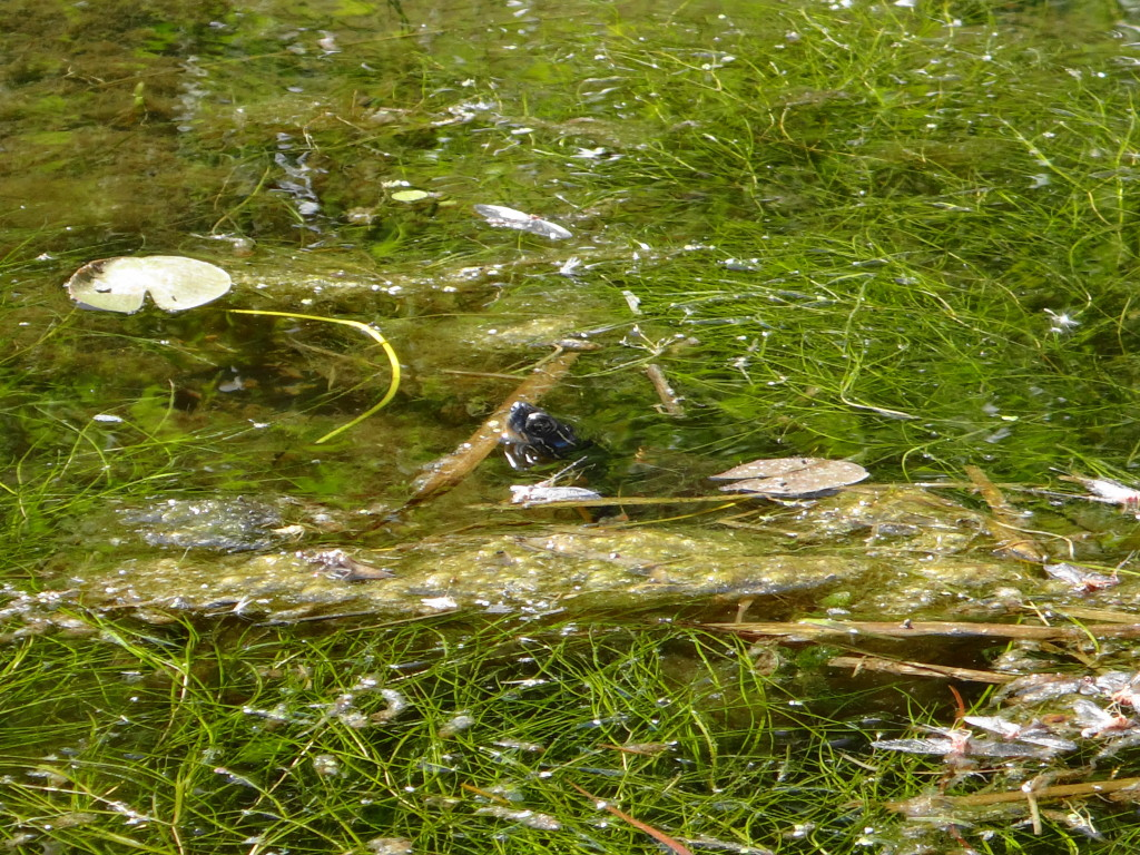 Amidst a dense patch of pondweed, a shy painted turtle sticks its head out of the water for a look around.