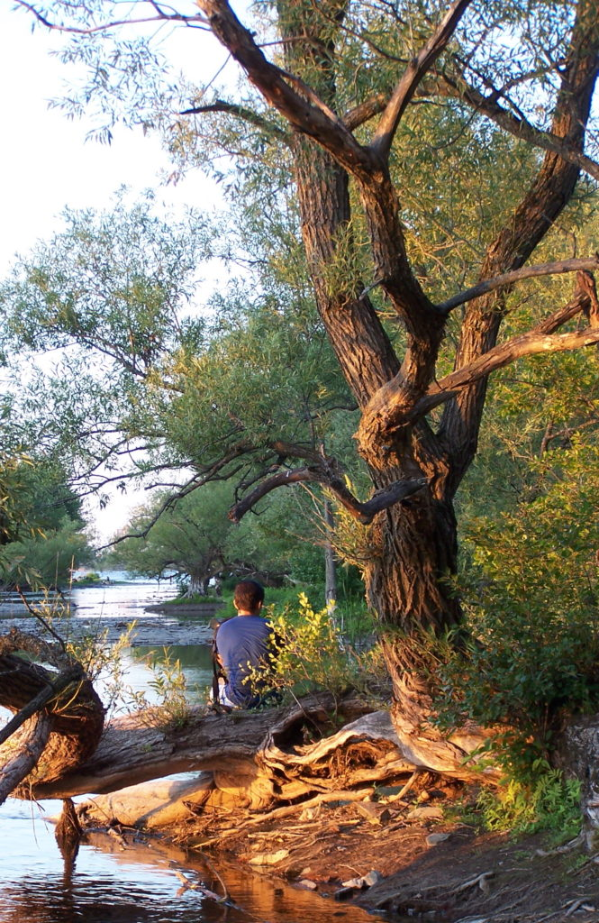 A boys sits on the reclining limb of a crack willow on the shoreline of the Ottawa River.