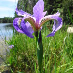 A close-up photograph of a purple iris in bloom on the shore of the Snye River.