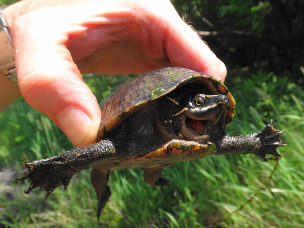 A musk turtle hisses as it is held between a thumb and fingers.