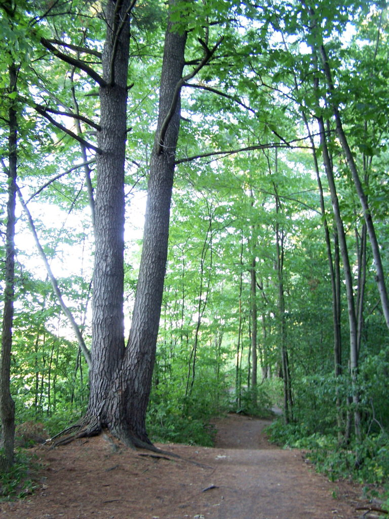 Two large pines stand beside a walking path in the forest at Mud Lake.
