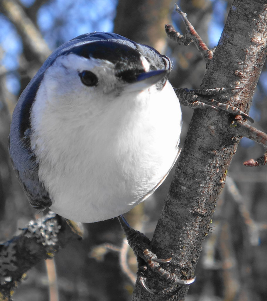A close-up photograph of a beady-eyed, white-breasted nuthatch clinging to a branch as it seeks a handout.