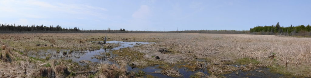 A panorama view of large cattail marsh, the Goulbourn Wetland.