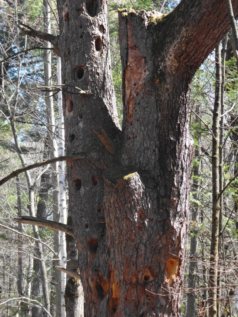 Woodpecker holes and cavities pockmark the gnarled trunk of a white pine.