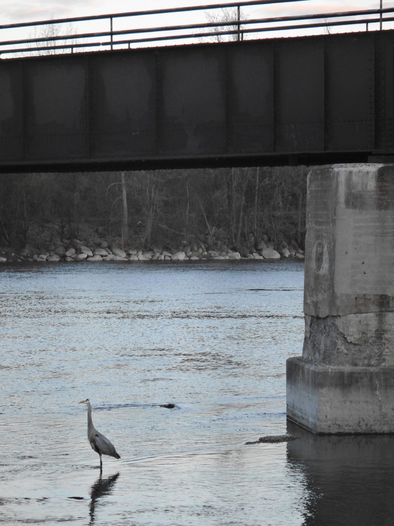 A great blue heron hunts below a bridge over the Rideau River.