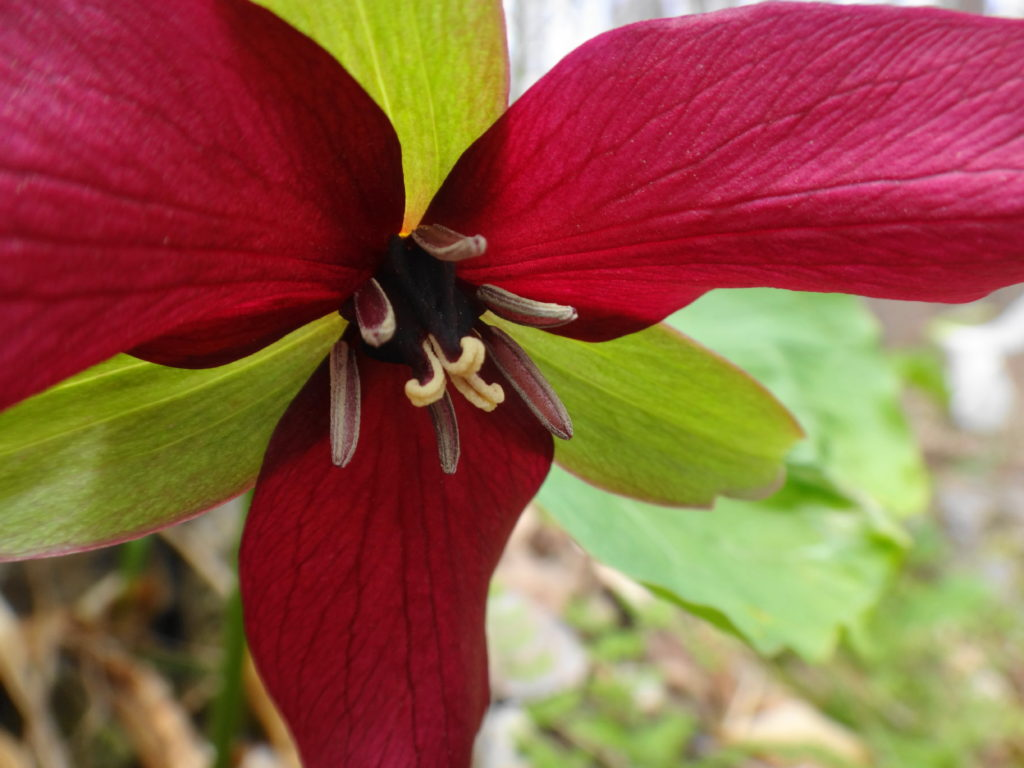 A close-up photograph of a red trillium shows the purplish petals, large sepals and stamen.