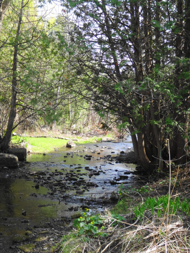 Poole Creek flows under the shade of cedar trees. Marsh Marigolds bloom beside the creek in the foreground.