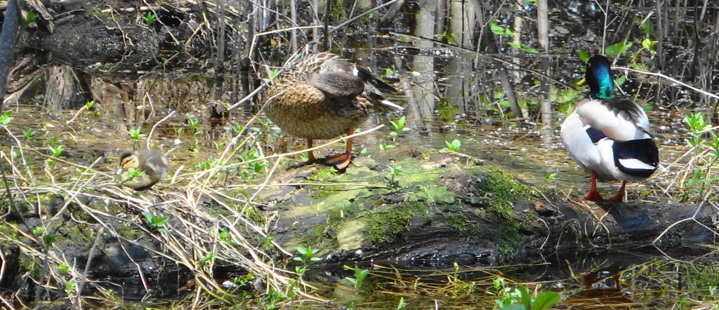 A pair of adult mallards and a chick sit on a log in the Chapman Mills West swamp.