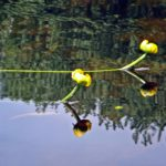 Two yellow water lilies reflect in the calm water of Constance Creek.