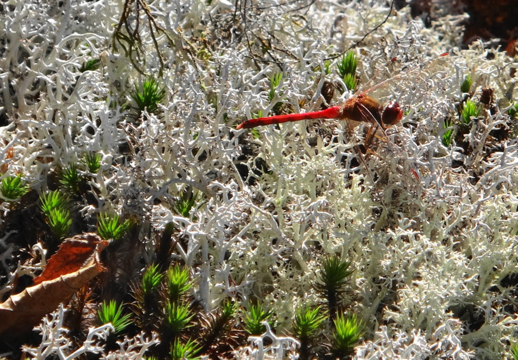 A scarlet dragonfly rests on a dense bed of white lichen.
