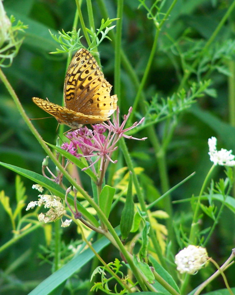 A butterfly feeds on a purple flower along a roadside in Deep River