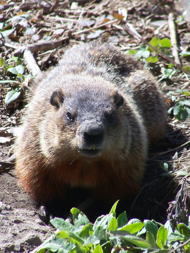 A groundhog looks into the camera in thicket beside the Rideau River