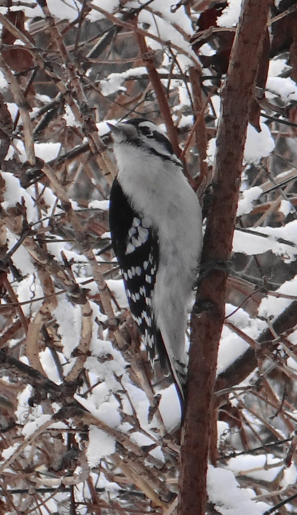 A downy woodpecker clings to a stem in a thicket beside the Rideau River
