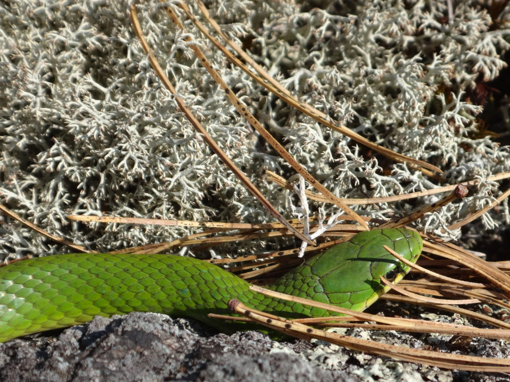 A close-up photograph of a smooth green snake in the Carp Hills