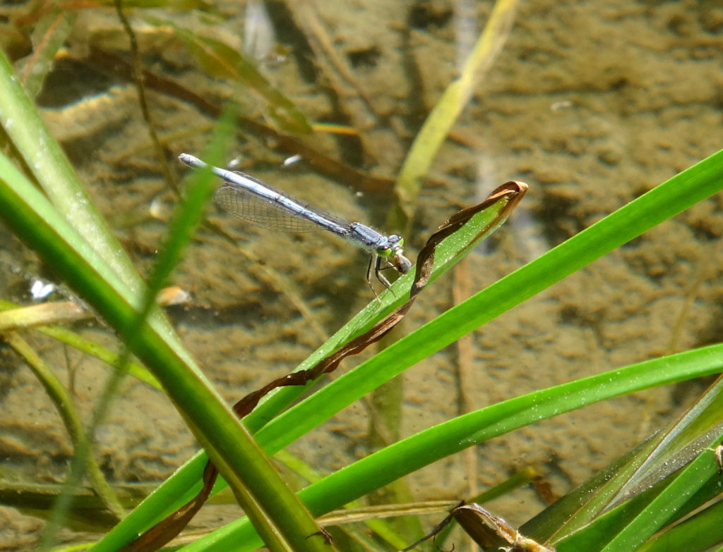 An eastern forktail damselfly perches on a reed along the Mississippi River, Ontario