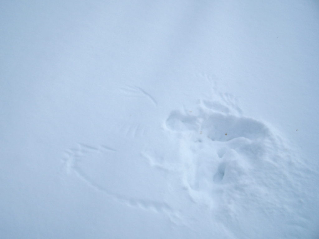 A wing print in the snow marks where an owl swooped down to capture a mouse