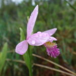A delicate pink orchid, called a rose pogonia, glistens with raindrops in a fen.