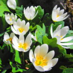 A small cluster of white bloodroot shines in the sun.