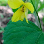 A close-up photograph of single, yellow violet growing on the forest floor.