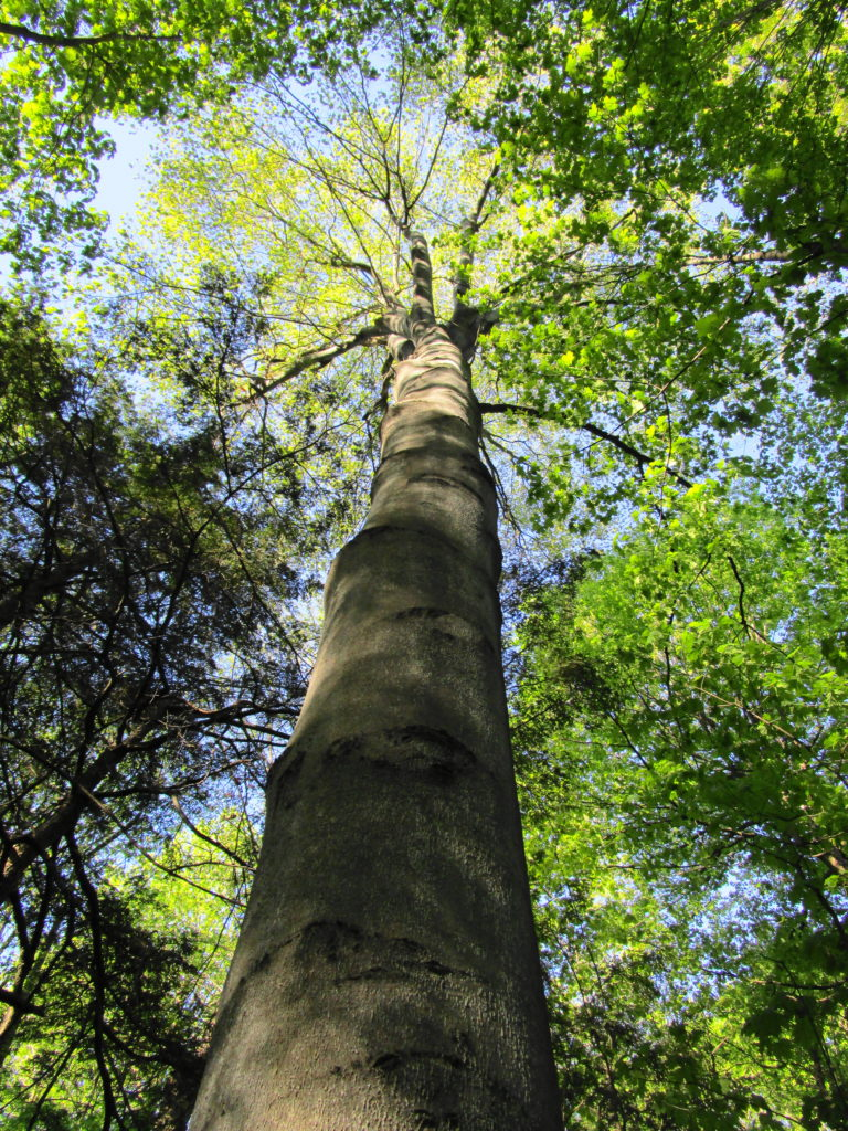 A mature beech tree towers into the forest canopy.
