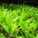 A garden of ostrich ferns glows in sunlight.
