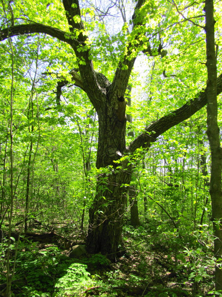 A spreading maple, typical of old pastures, dominates a stand of younger, second-growth trees.