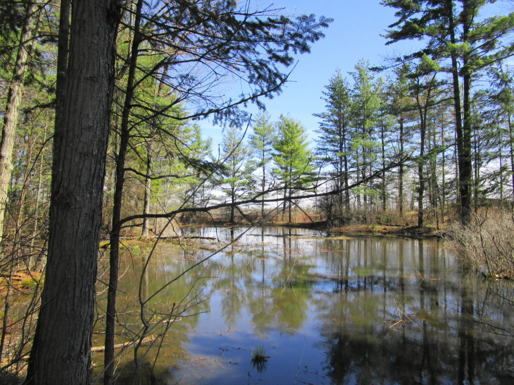 A peaceful, sunlit pond lies surrounded by pine trees on the KNL property.
