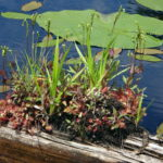 A patch of flowering sundews grows on floating log.