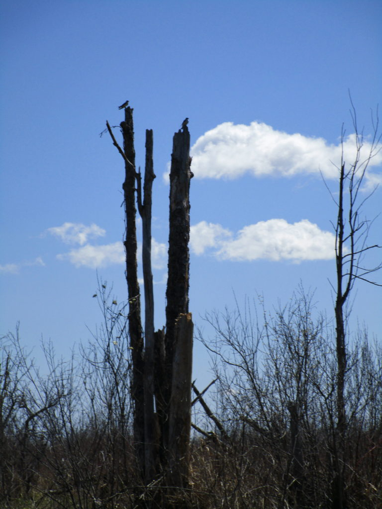 Tree swallows perch on an isolated snag in the Richmond Fen.
