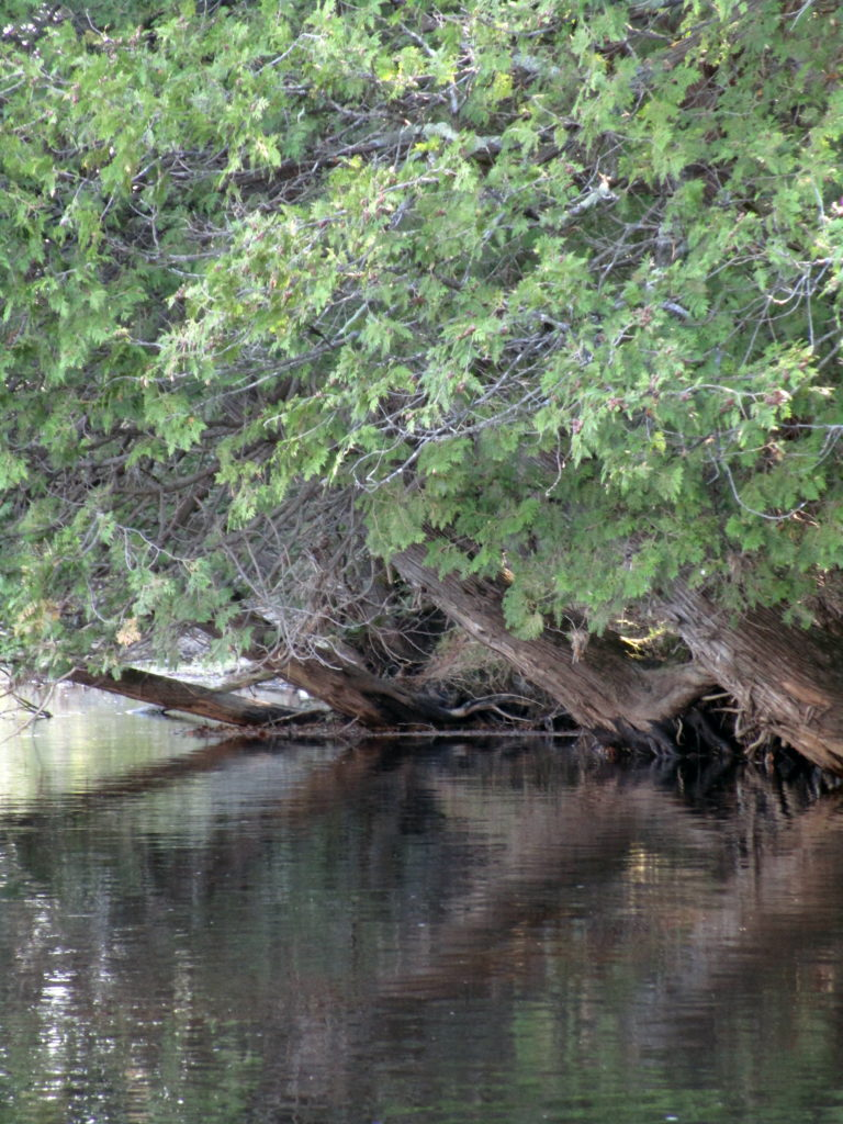 Cedar trees lean over the water from the bank of the Jock River.