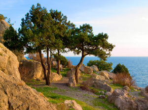 Pine trees on sea coast.