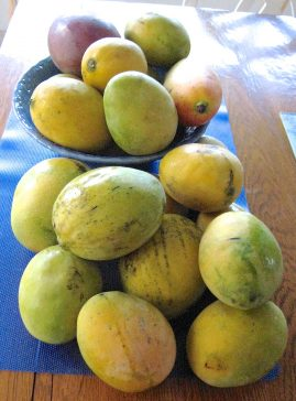 When the mango harvest is overwhelming, try freezing some of the bounty. / Deborah S. Hartz-Seeley