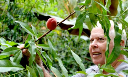 Farmer calls Florida peaches 'a neat opportunity' (Part 1)