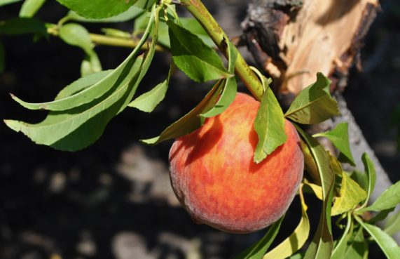 "A UFBest peach, one of many ""low-chill"" varieties developed by the University of Florida. / Courtesy of UF/IFAS"