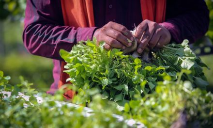 H-2A workers ensure fast harvest of greens