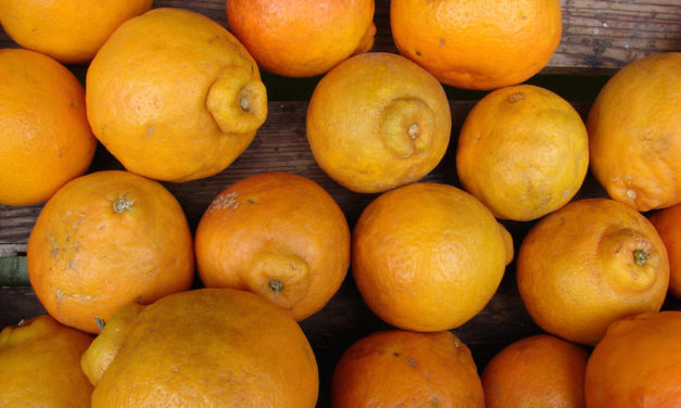 Juicy Honeybells are available now in Florida so hurry