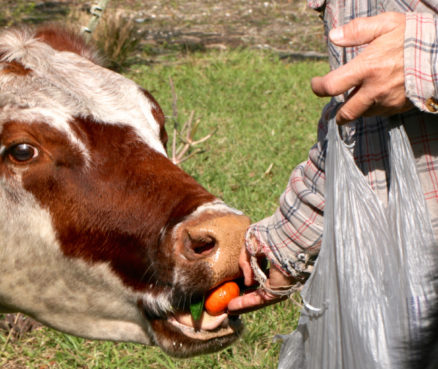 "Joe Stein, who owns ""Let's Go"" Ranch in Arcadia, feeds a tangerine to one of his cows - Florida cowboys"