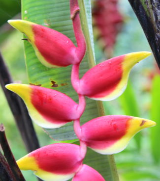 florida-friendly landscaping / heliconia