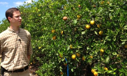 UF/IFAS researchers bearing down on citrus greening