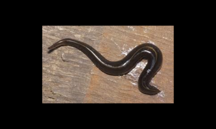 UF/IFAS: 'Invasive Alert! Meet the New Guinea Flatworm'