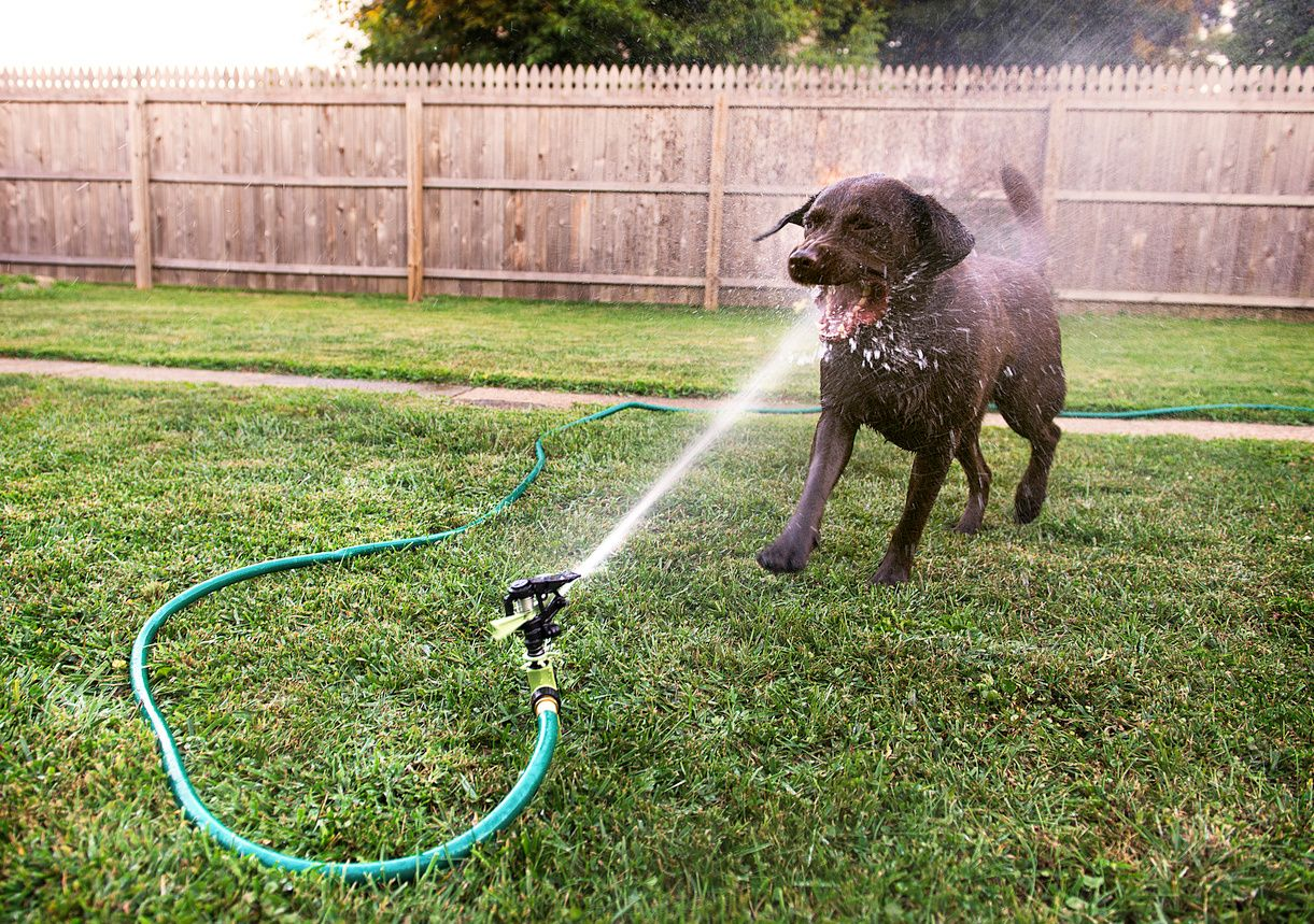 water hose spraying a black dog in the face.