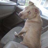 Found this dog on 19th male pitbull maybe 5 or 6 months old