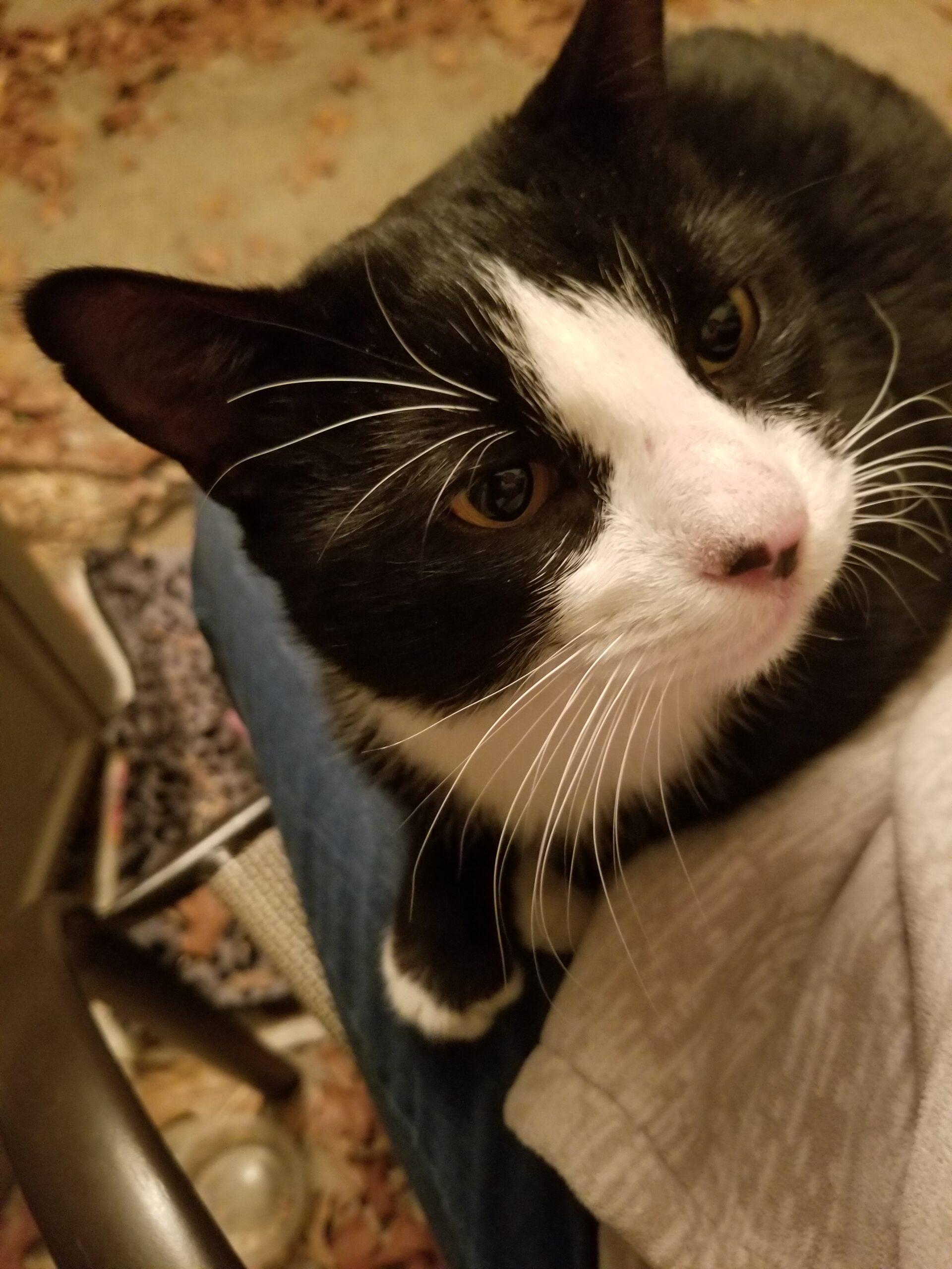 Found Cat   Male    American Shorthair