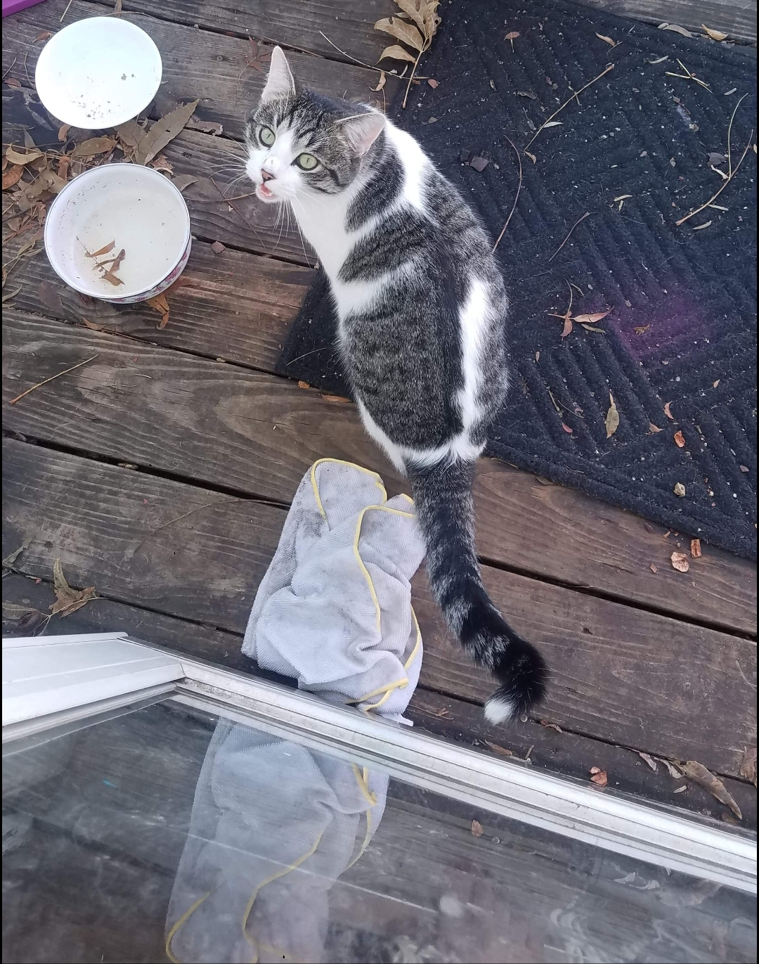 Lost Cat  Rockstar, Handsome Or Loudmouth Male    American Shorthair